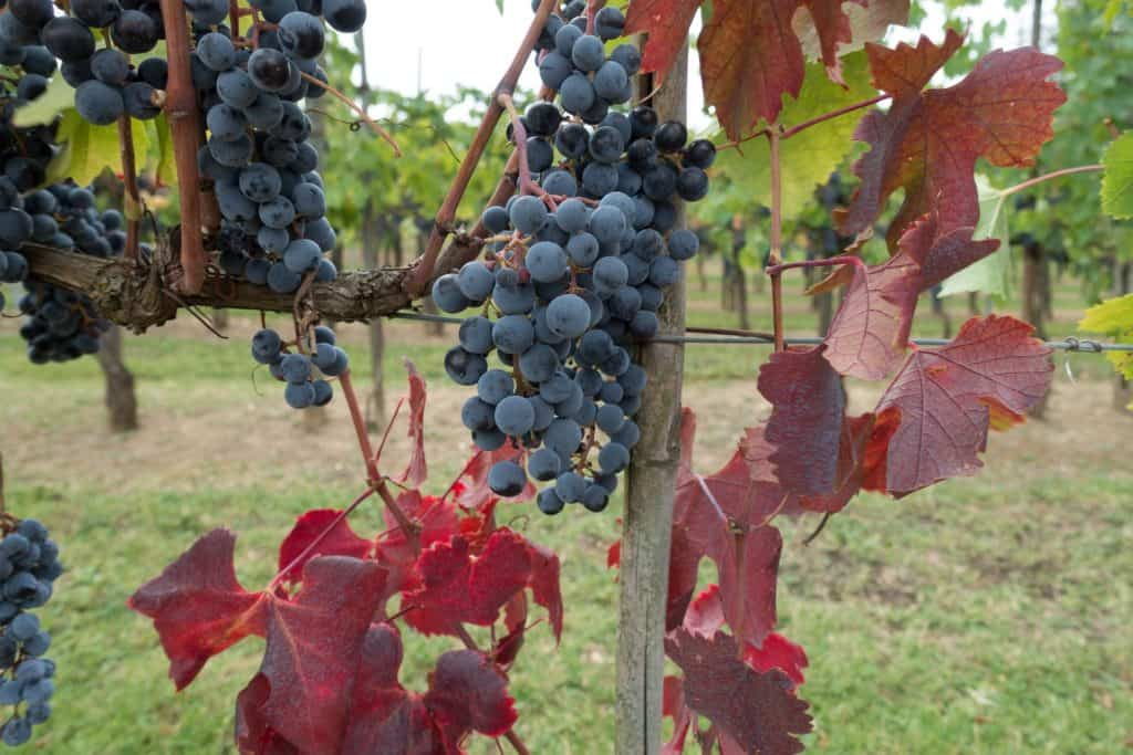 Chianti red grape: the one that must be used to produce the Chianti wine.